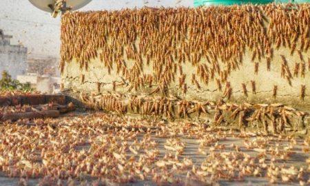 Delhi govt organises awareness programme on locust attacks for farmers
